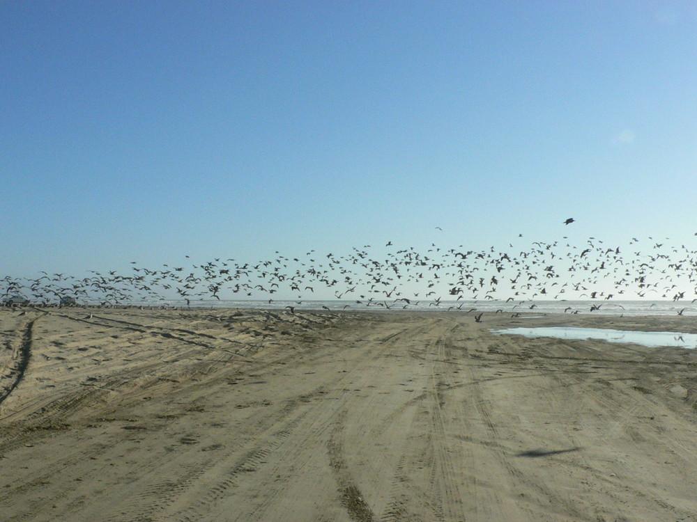 Möwen am Strand von Pismo Beach