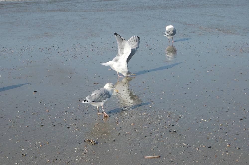 Möwen gehören zu Norderney wie der Sand und das Meer 1