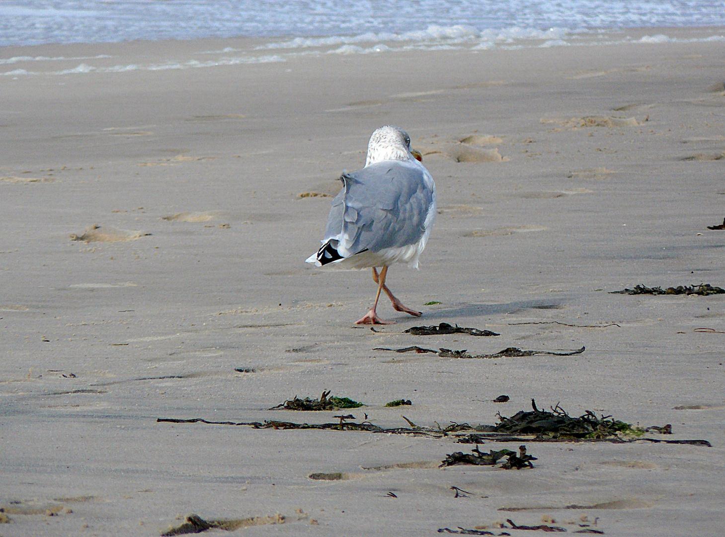 Möwenwalk am Sylter Strand