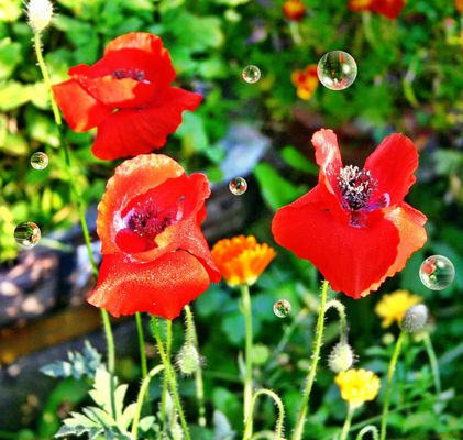 Mohn am Morgen