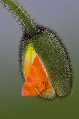 Mohn-Blüte