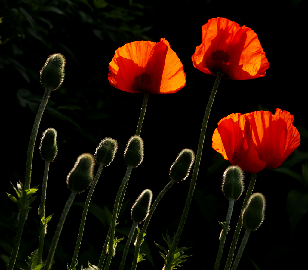 mohn bl ten und mohn knospen foto bild pflanzen pilze flechten bl ten kleinpflanzen. Black Bedroom Furniture Sets. Home Design Ideas