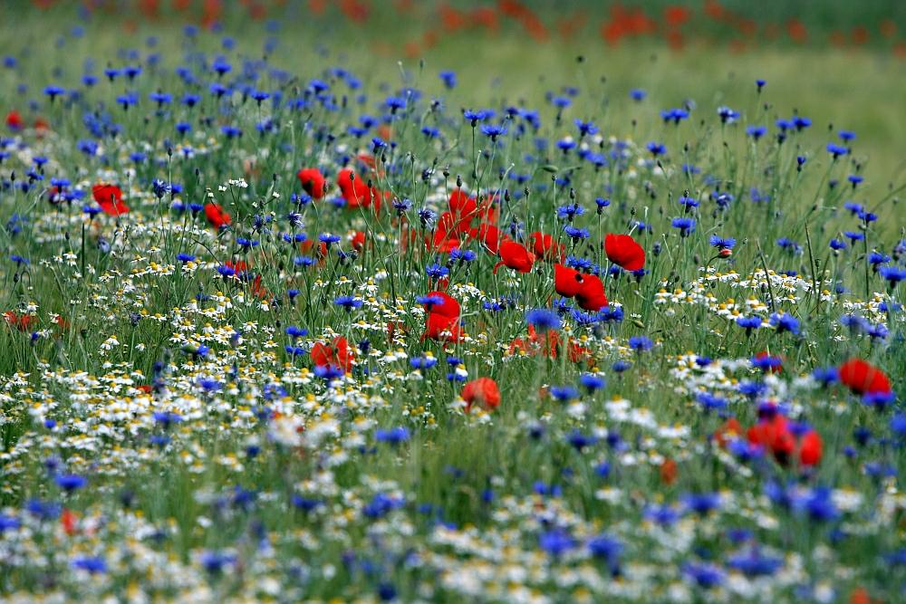Mohn im Kornblumenfeld Foto & Bild | pflanzen, pilze