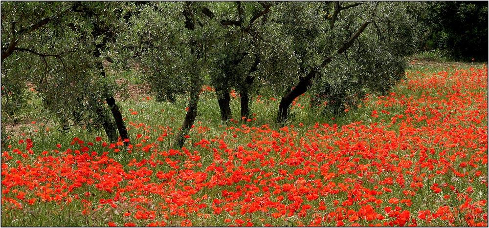 Mohn im Olivenhain (Provence)