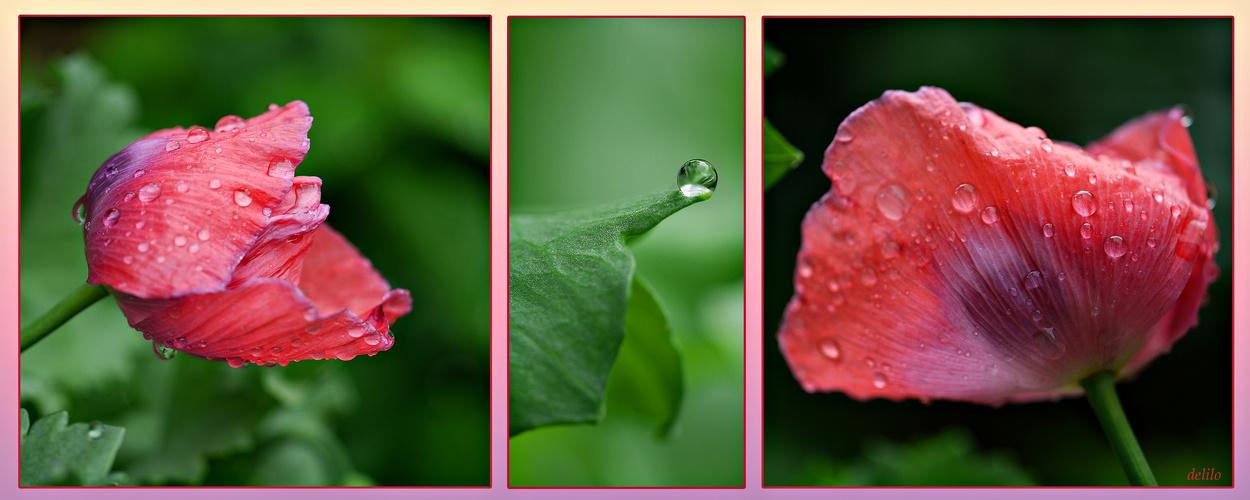 Mohn im Regen