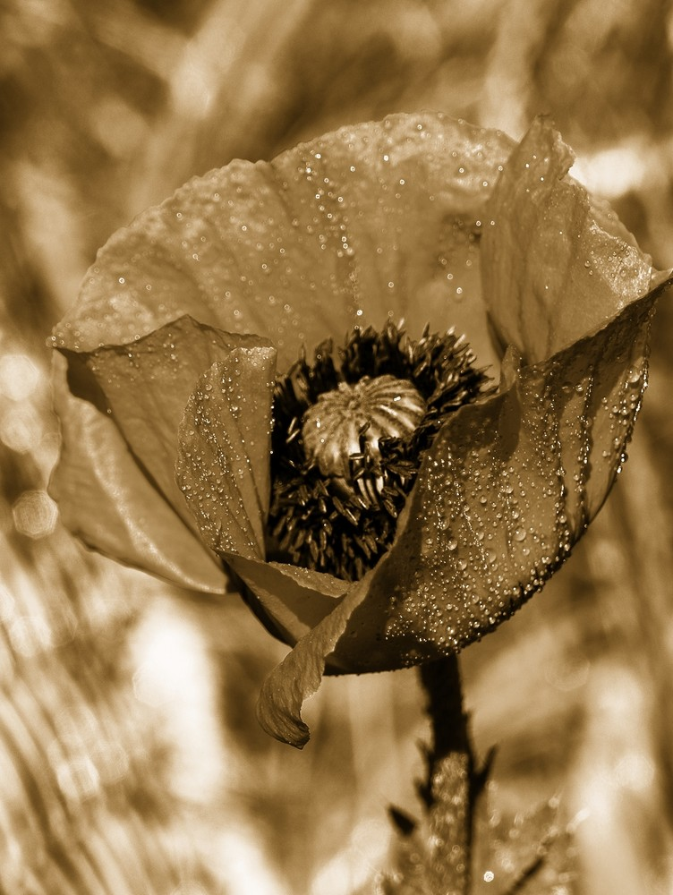 Mohn in Sepia