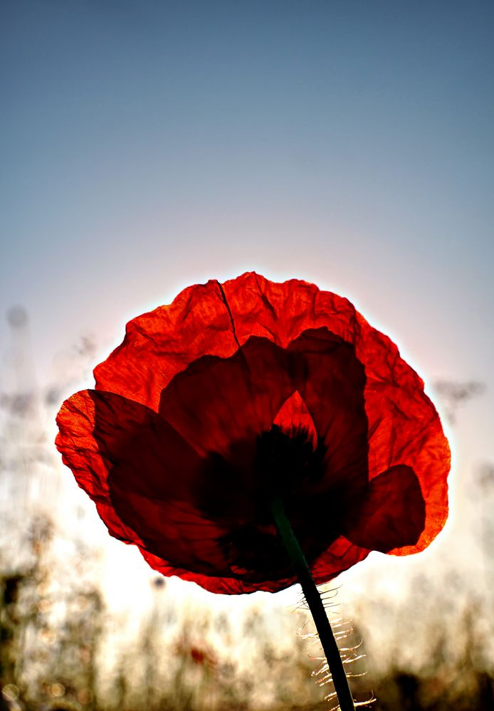Mohn Light von kredy