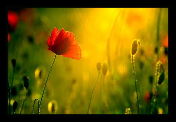 Mohn-Light II
