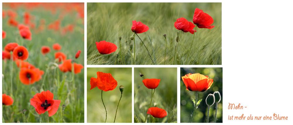 Mohn - mehr als nur eine Blume