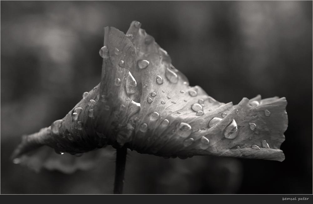 Mohn nach Regen
