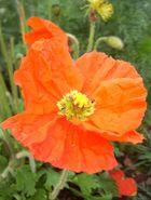 Mohn (Orange)