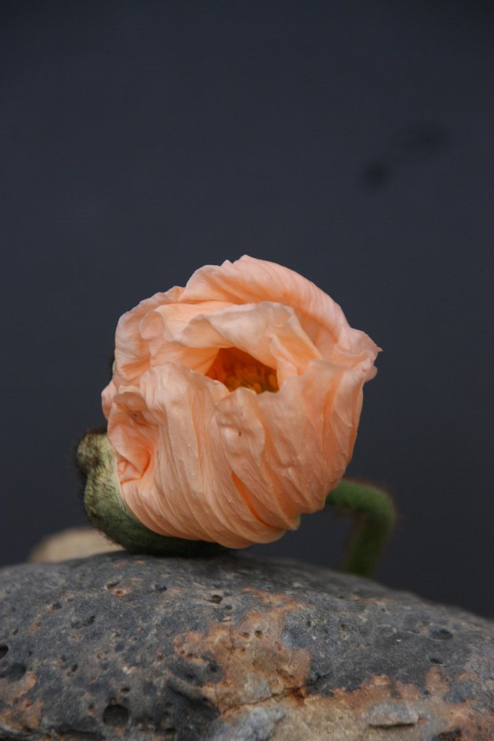 Mohn rosa