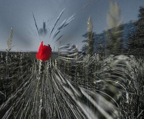 Mohn verschlingt Weizenfeld