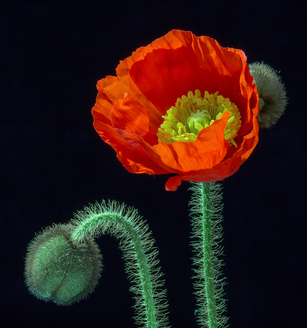 Mohnblüte 01 (C)