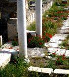 Mohnblüte in Laodicea