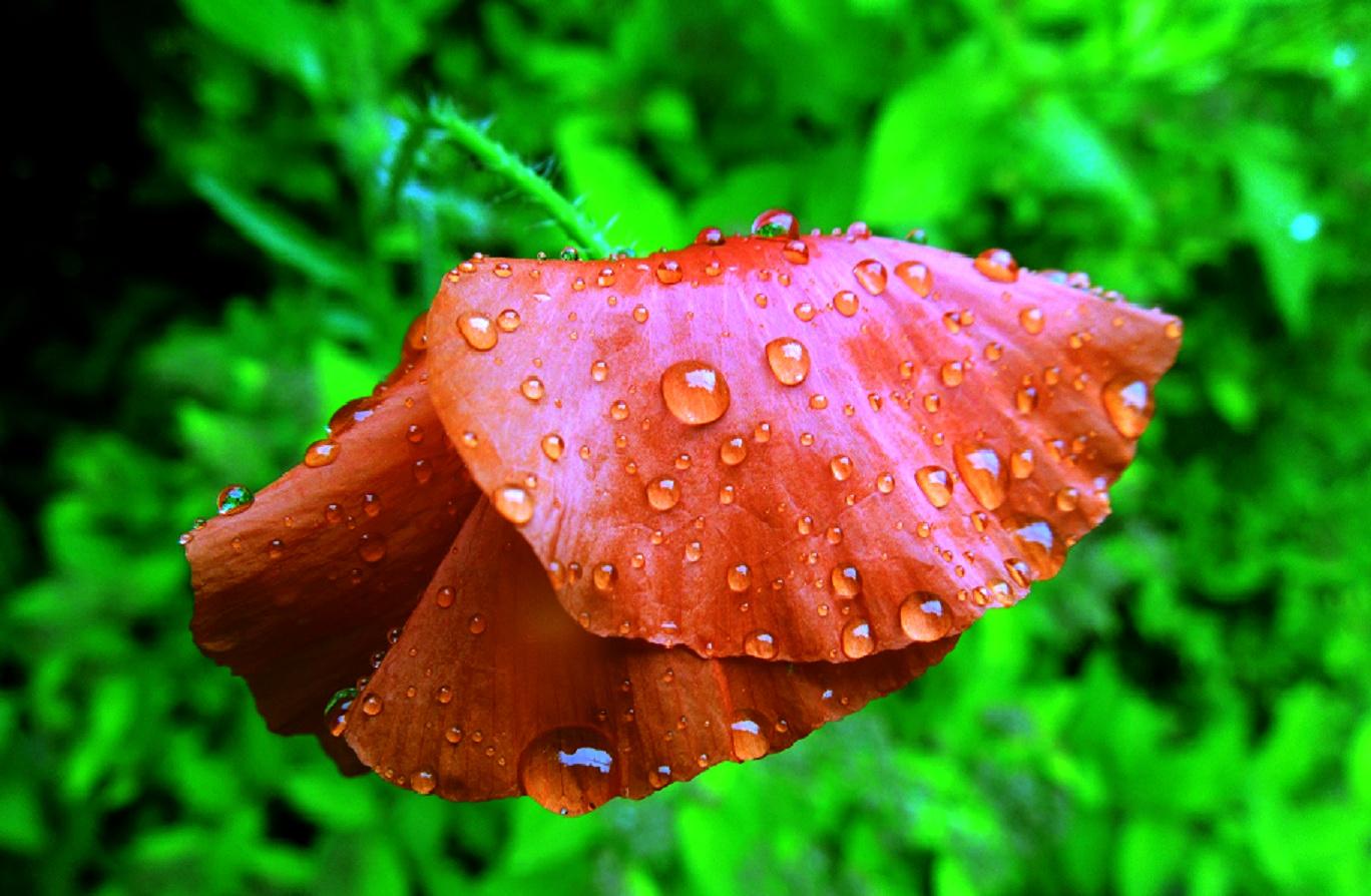 Mohnblüte nach dem Regen