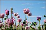Mohnblüten