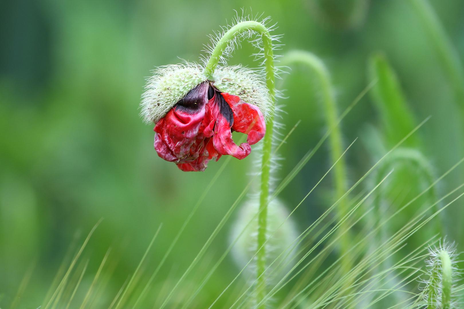 Mohnblume, ein bisschen welk aber trotzdem noch schön