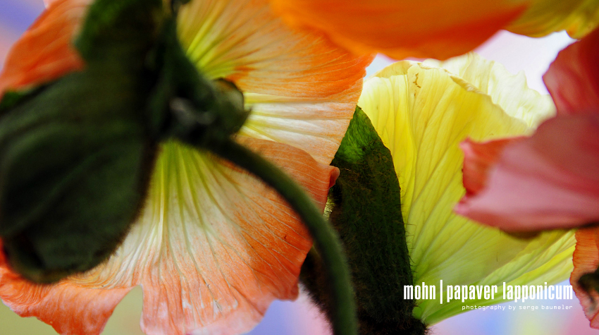 Mohnblume | Papaver Lapponicum 2#