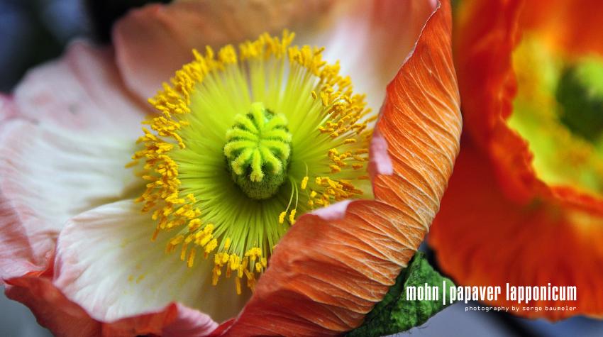 Mohnblume | Papaver Lapponicum 3#