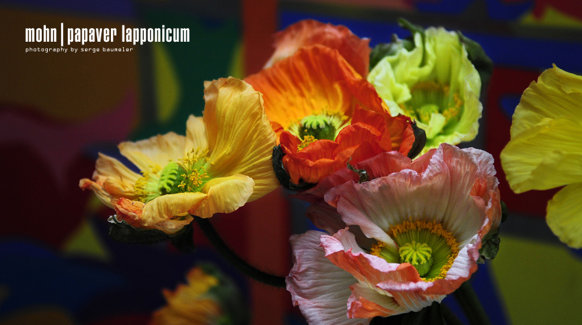 Mohnblume | Papaver Lapponicum 4#