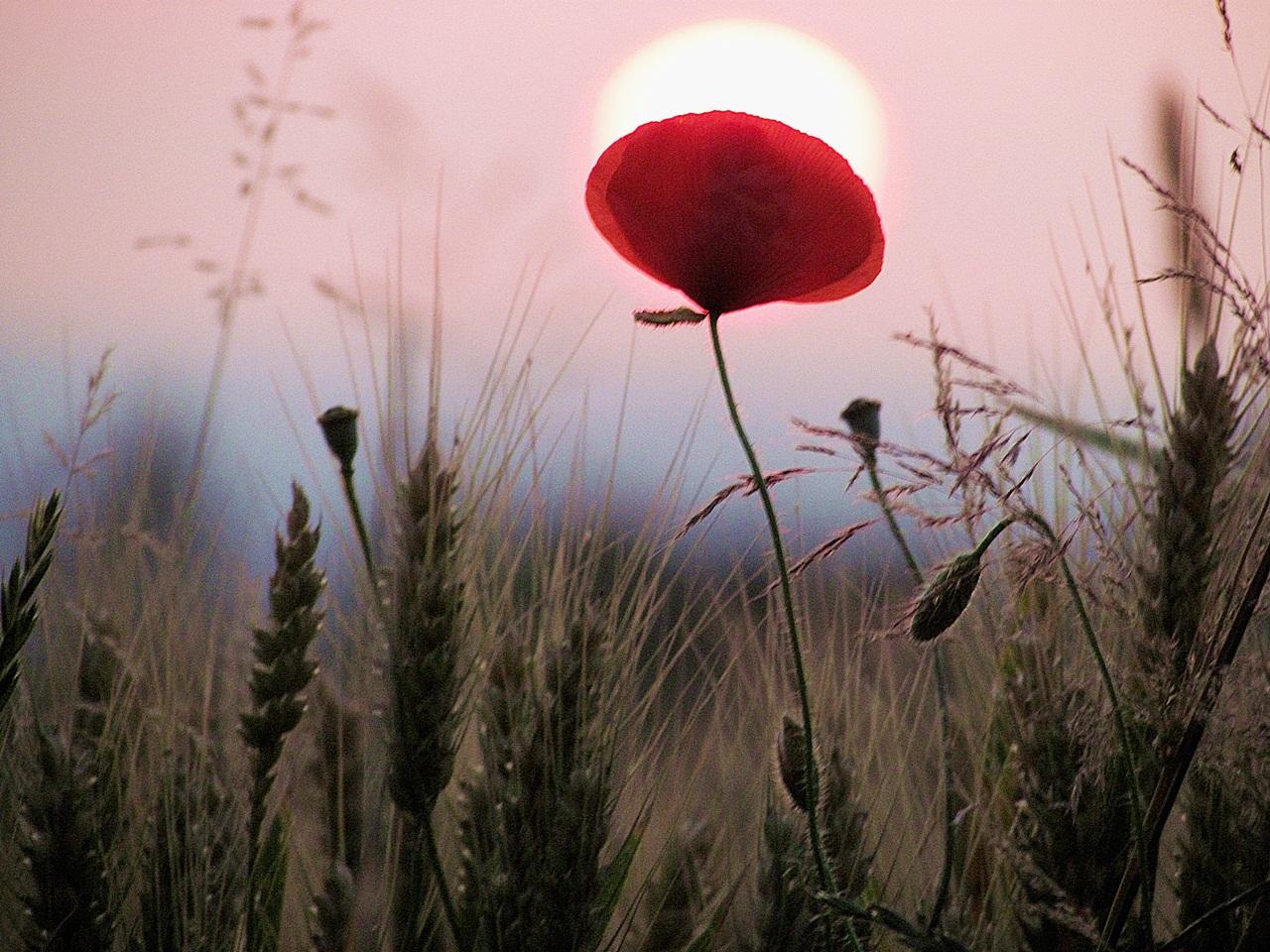 Mohnblume Sonne