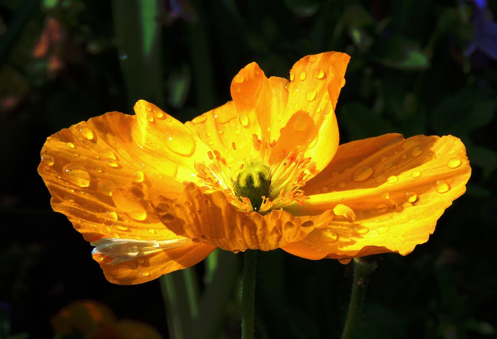 Mohnblume Variation III nach einem Regenschauer