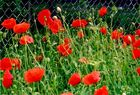 Mohnblumen auf Hiddensee