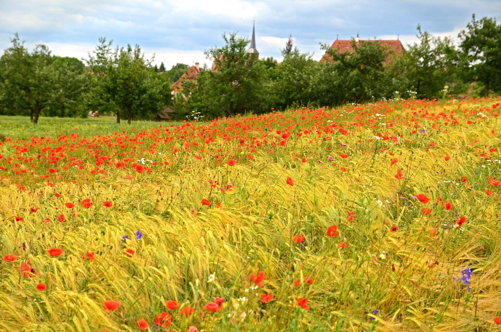Mohnblumen im Getreide