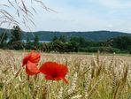 Mohnblumen im Kornfeld