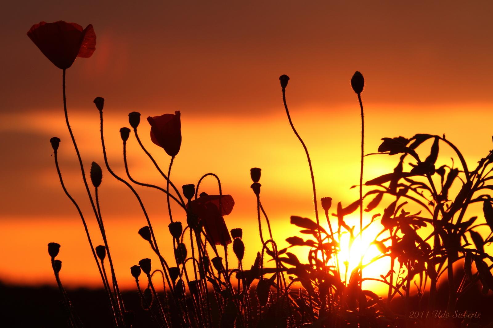 Mohnblumen im Sonnenuntergang