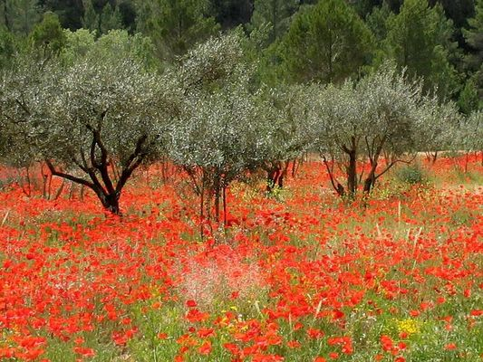 Mohnblumen in Italien