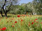 Mohnblumen und Olivenbäume