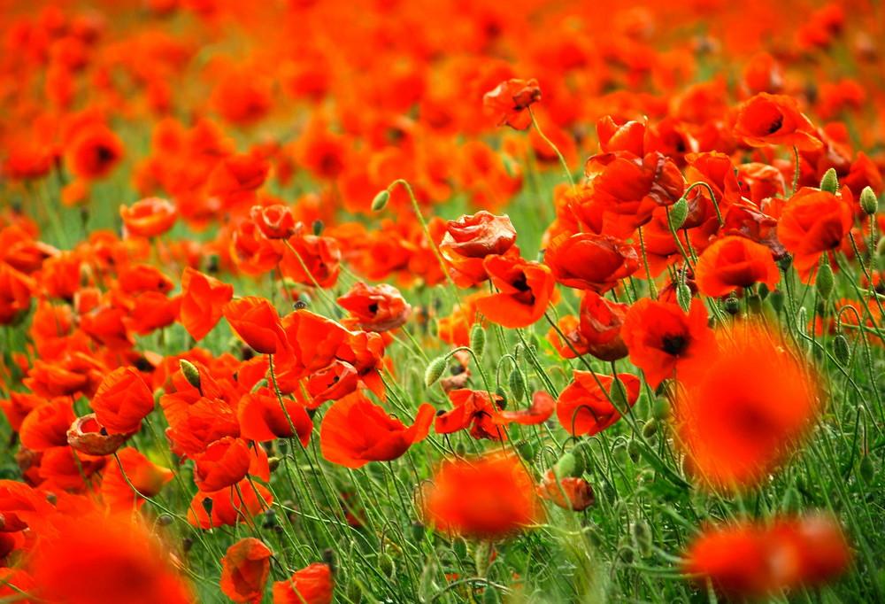 Mohnfeld, erzeugt Abhängigkeit, Farben satt machen süchtig...! ;-)))