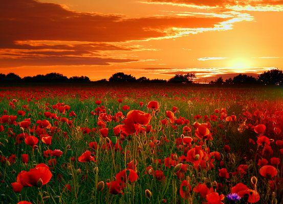 Mohnfeld im Sonnenuntergang 21:00 Uhr