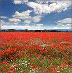 Mohnfeld in der Provence