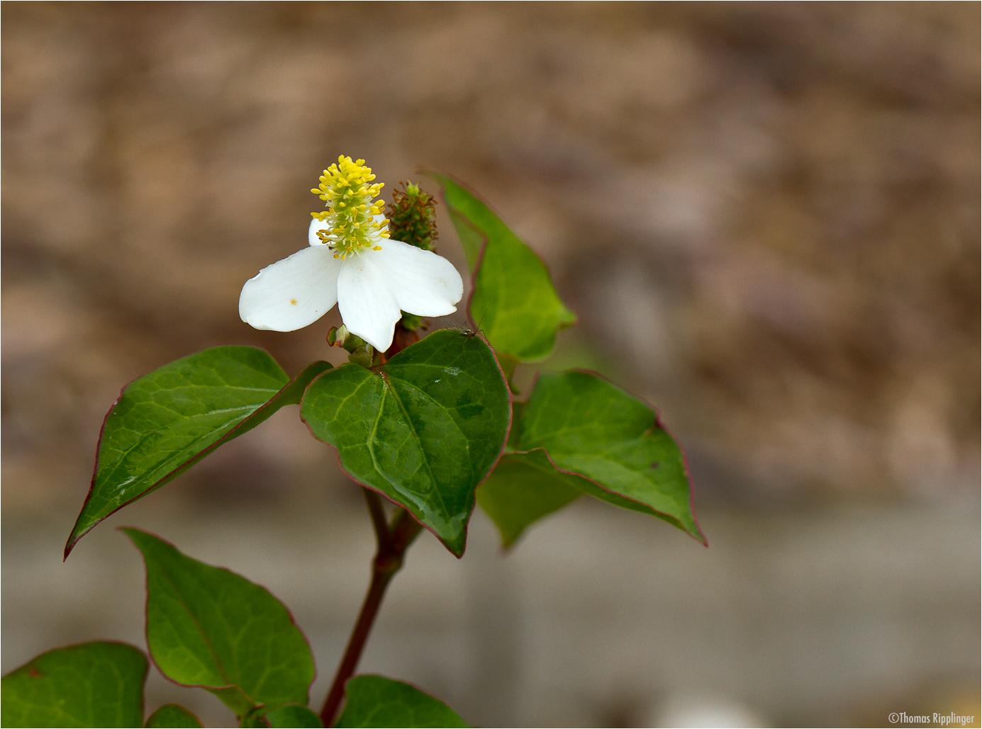 Molchschwanz (Houttuynia cordata)