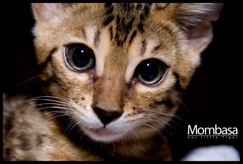 Mombasa - a Bengal Cat!