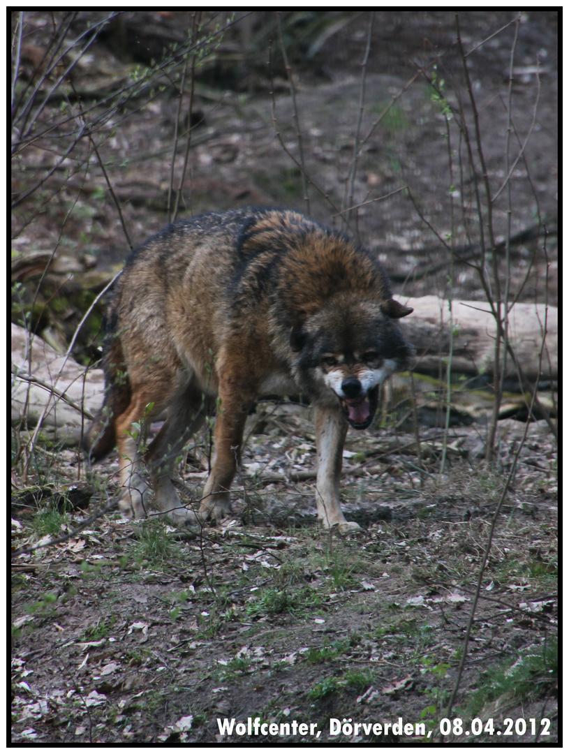 Momentaufnahme im Wolfscenter Dörverden