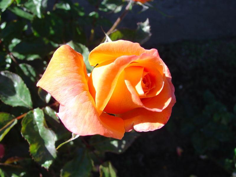 Mom's Rose 2