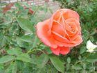 Mom's Rose 3