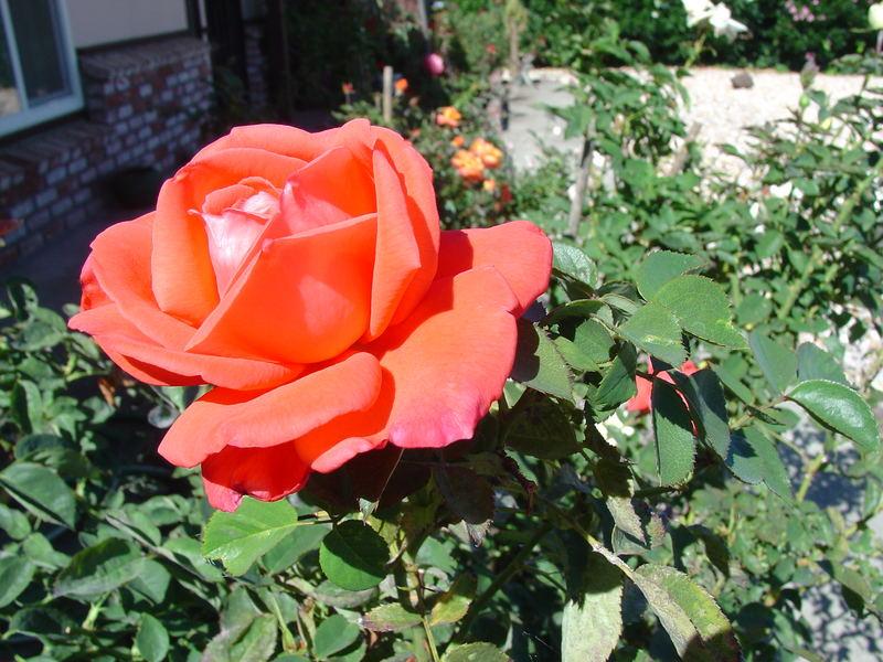 Mom's Rose 4