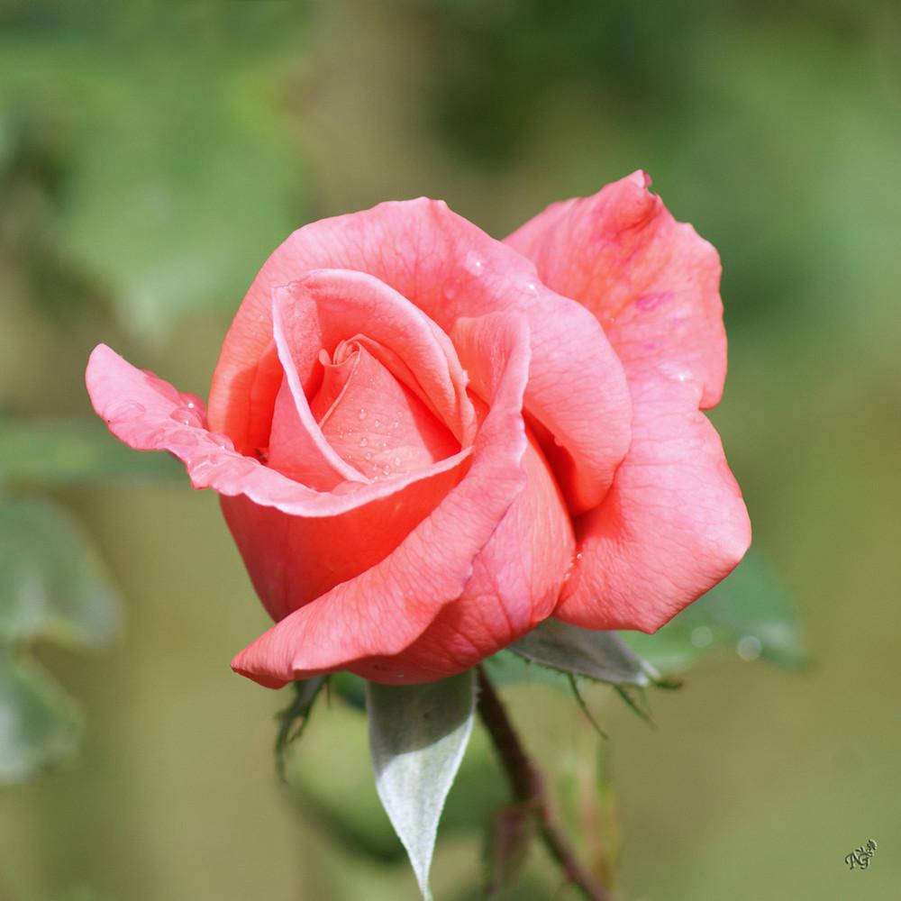Mon Amie la Rose ....