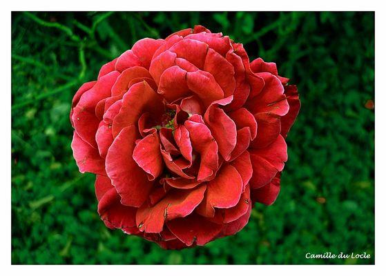 Mon amie, la rose