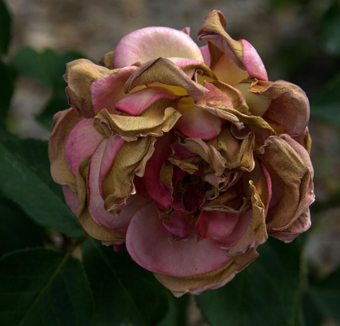Mon amie la rose est morte ce matin