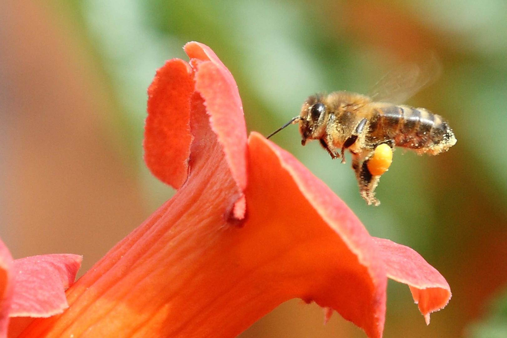 Mon amie l'abeille