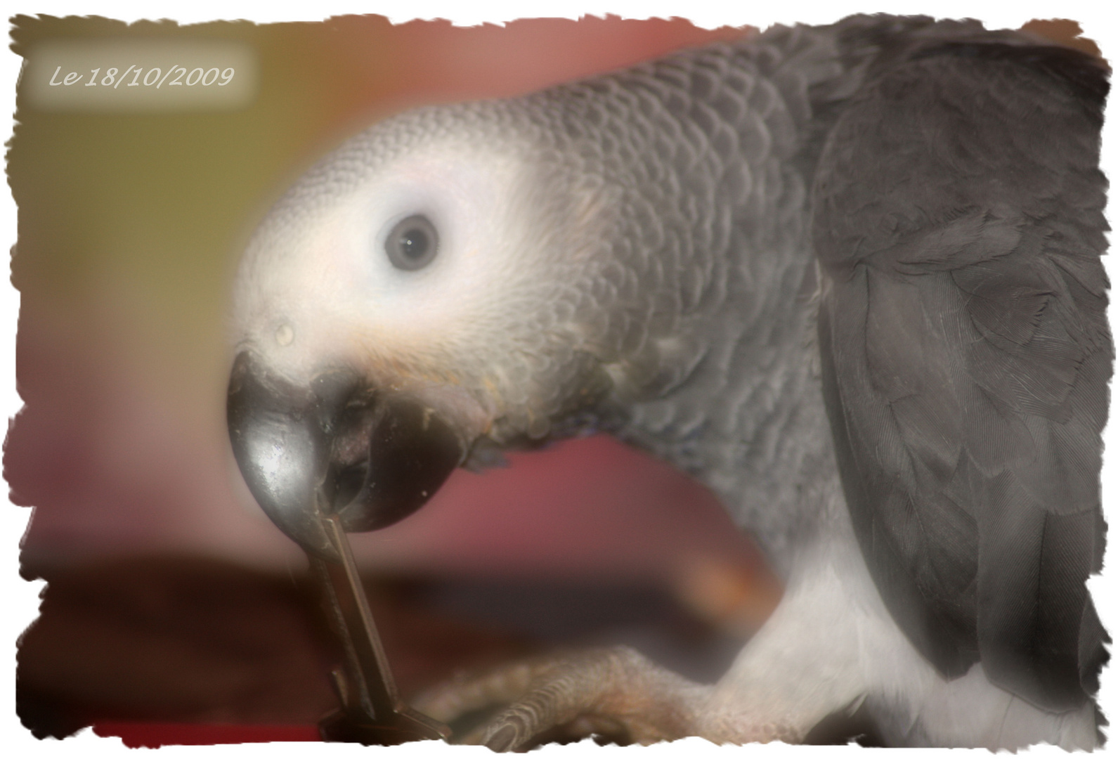 Mon Amour de perroquet ....