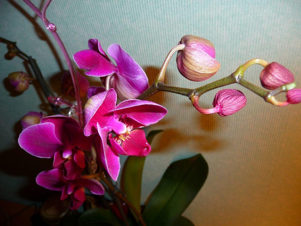 orchidee 56