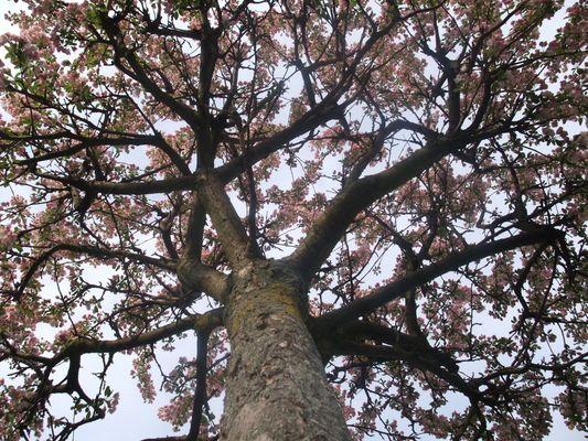mon arbre fleuri