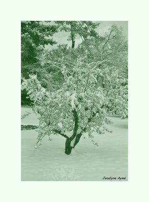 Mon bel olivier sous la neige
